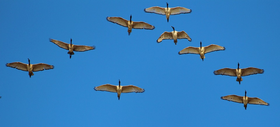 Have you ever watched a flock of geese fly (and honk) its way across the sky in a v-shaped formation? They fly that way because it's very efficient. In his book entitled, In Formation , Larry W. Dennis Sr. notes that when the lead goose gets tired and drops back, the formation quickly reorganizes to maintain the formation.